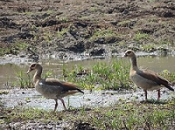 First observation of a breeding couple of Nile Gesse in Doñana.