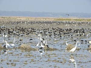 Good wintering of waterbirds in the marshes of the Guadalquivir River in January 2019