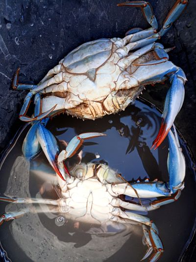 Confirmation of the usual presence of the blue crab (Callinectes sapidus) in the Doñana National Park