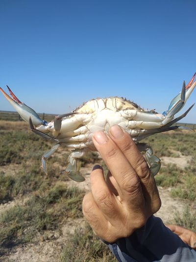 Current situation of the blue crab (Callinectes sapidus) in the Doñana Natural Space.
