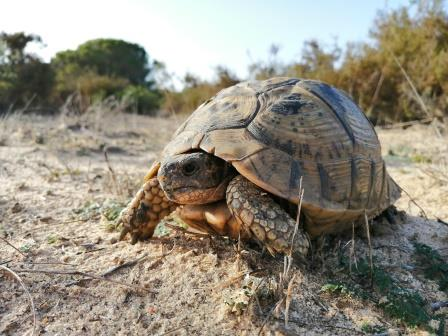 Puntal tortoise monitoring campaing finished
